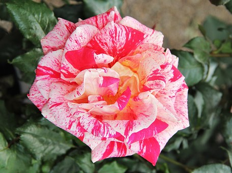 Floribunda, Rose Bloom, Exceptional, Color Variety