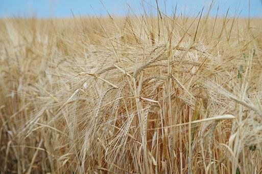 The Grain, Field, Oats, Barley, One Time, Nature, Bread