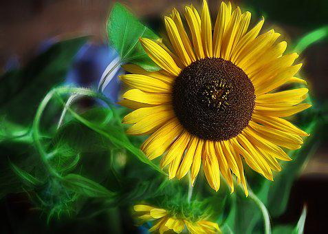 Sunflowers, Flowers, Yellow Flowers, Large Flowers
