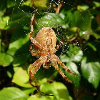 Spider Web, Garden Spider, Araneus Diadematus
