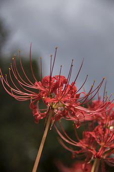 Spider Lilly, Flower, Bloom, Garden