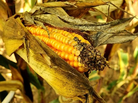 Corn, Ear, Food, Cereals, Agriculture, Grain, Arable