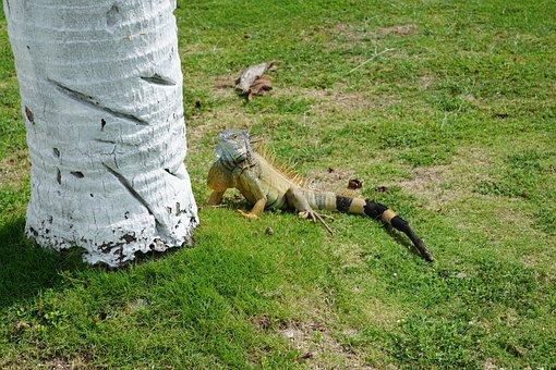 Iguana, Palm, Grass, Cayman Islands, Caribbean, Animal