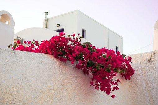Santorini, Flowers, Islands, Greece, Travel, Tourism