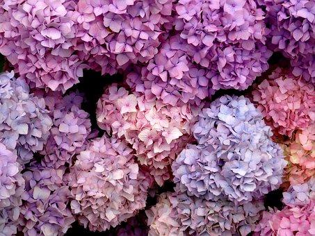 Sea Of Flowers, Blossom, Bloom, Hydrangea, Close, Blue