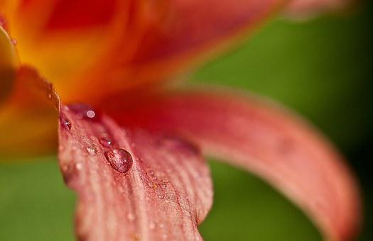 Lily, Flower, After The Rain, Macro, Nature