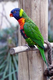 Bird, Lorikeet, Animal, Parrot, Rainbow, Colorful