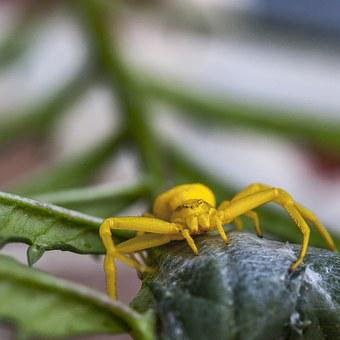 Flower Crab Spider, Crab Spider, Yellow, Spider, Macro