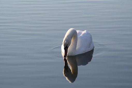 Swan, Beautiful, Water, Swim, Mirror Image, Bird, White