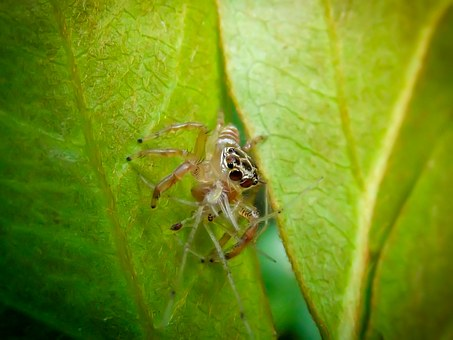 Jumping Spider, Salticidae, Harmless, Spider, Nature