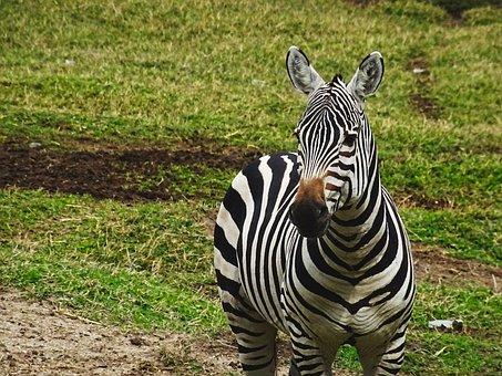 Zebra, Animal, Zoo, Nature, Striped, Zebra Crossing