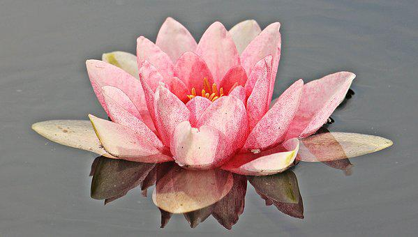 Water Lily, Nuphar Lutea, Aquatic Plant, Mirroring