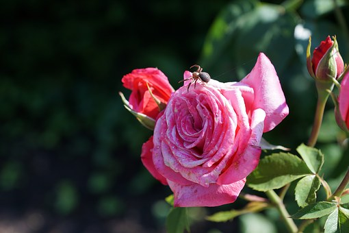Rose, Flower, Plant, Blossom, Bloom, Spider, Insect