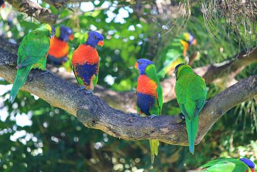 Rainbow Lorikeets, Birds, Colourful, Parrot, Rainbow