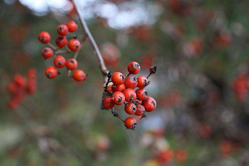 Rowan, Autumn, Tree, Fruit, The Delicacy, Red