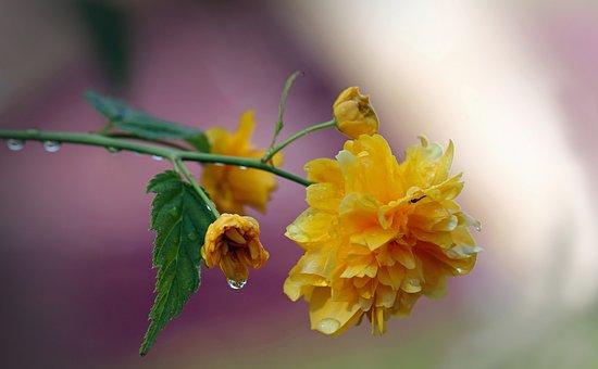 Flowers, Roses, Flower, Rose Bloom, Plant