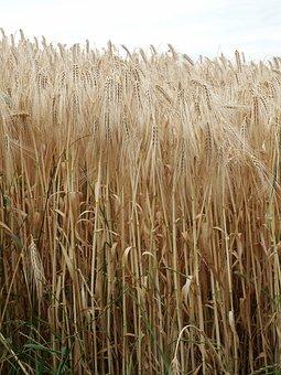 Grain, Rye, Nature, Field, Ears Of Corn