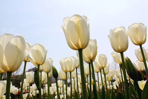 Tulip, White, Sea Of Flowers