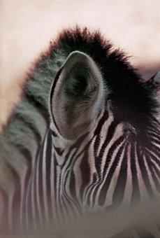 Zebra, Stripes, Plains Zebra, Black And White