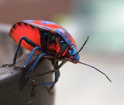 Hibiscus Harlequin Bug, Tectocoris Diophthalmus