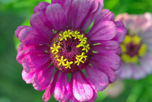 Zinnia, Flower, Violet, Yellow Means, Stars, The Petals