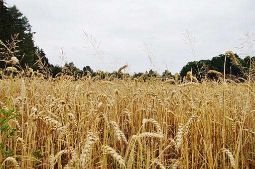 Grain, Cereal Box, Wheat, Wheat Field, Summer, Gold