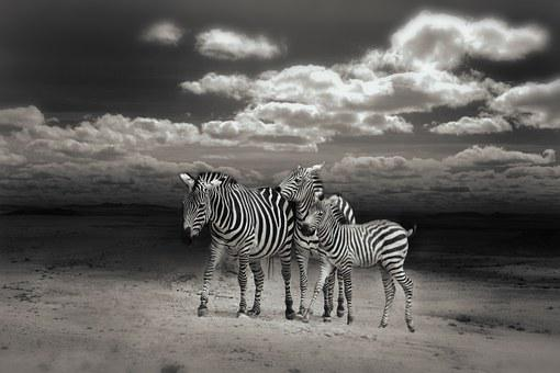 Zebras, Wild Animals, Zebra Crossing, Animal World
