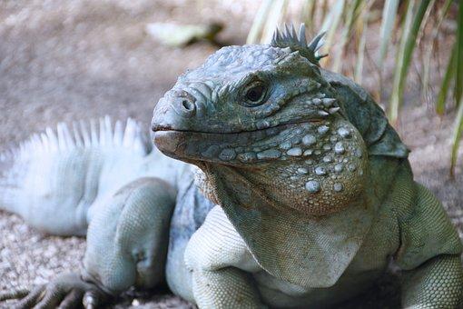 Blue Iguana, Iguana, Cayman Islands, Lizard, Wildlife