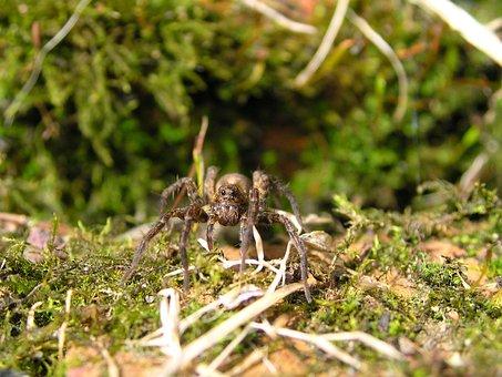 Wolf Spider, Sheffield, England, Wildlife, Garden