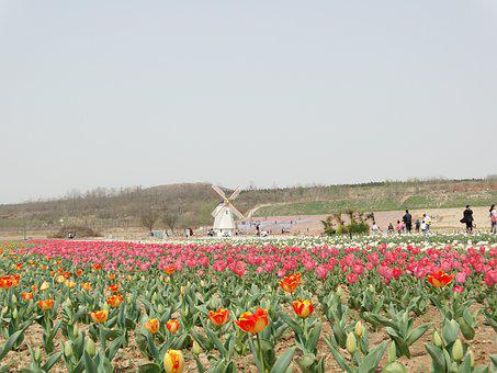 Sea Of Flowers, Tulip, Windmill