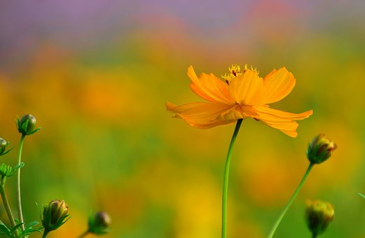 Flower, Pingtung County, Xinpi, Sea Of Flowers