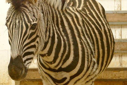 Zebra, Animals, Black And White, Africa, Zebra Crossing