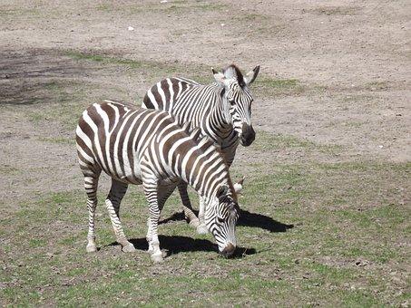 Animals, Zebra, Stripes, Crosswalk, Black And White