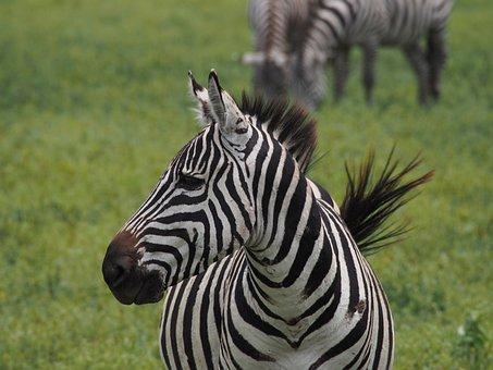 Africa, Zebra, Black And White, Safari