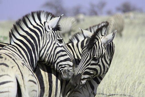 Zebras, Africa, Crosswalk, Stripes, Safari