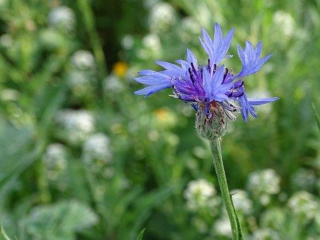 Cornflower, Flower, Wese, Blue, Blossom, Bloom, Summer