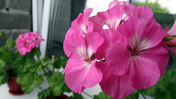 Flowers, Macro, Nature, Summer, Petun′â