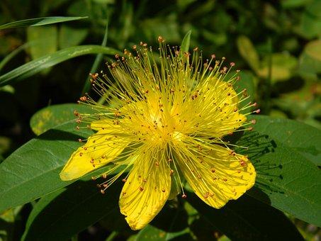Tutsan, Yellow, Closeup, R Keithii, Flowers