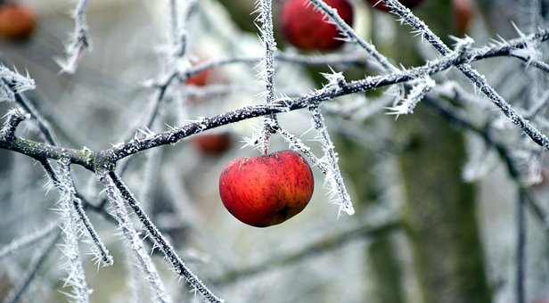 Apple, Frost, Cold, Winter, Nature, Frozen, Fruit