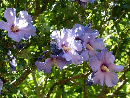 Mallow, Flowers, Holyhook, Flora, Purple, Petals