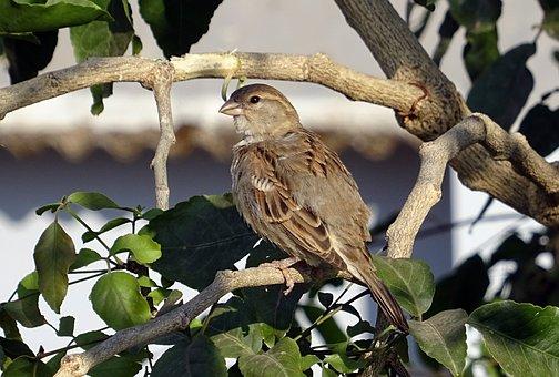 Bird, House Sparrow, Female, Passer Domesticus, Sparrow