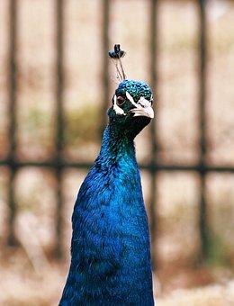 Peacock, Peahen, Bird, Feather, Animal, Wildlife