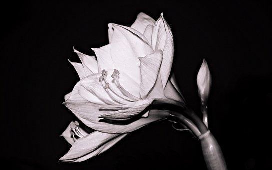 Amaryllis, Flower, Amaryllis Plant, Blossom, Bloom