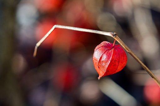 Chinese Lantern Plant, Red, Beautiful, Hanging, Heart