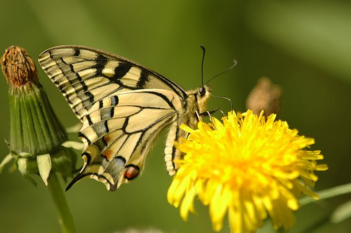 Appalachian Tiger, Butterfly, Insects, Wings, Yellow