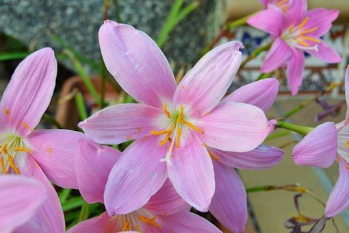 Flower, Wild Saffron, Crocus Nudiflorus, Flowerpot