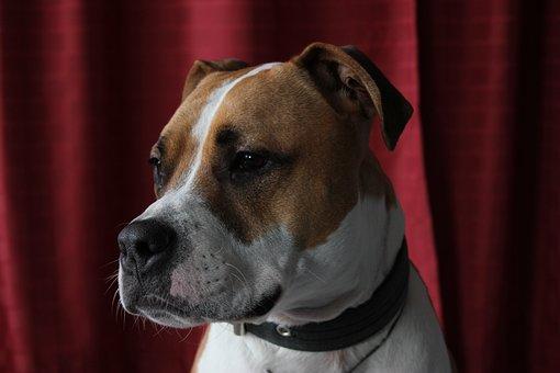 Pitbull, Amstaff, Dog, Brown, Face, Gassi