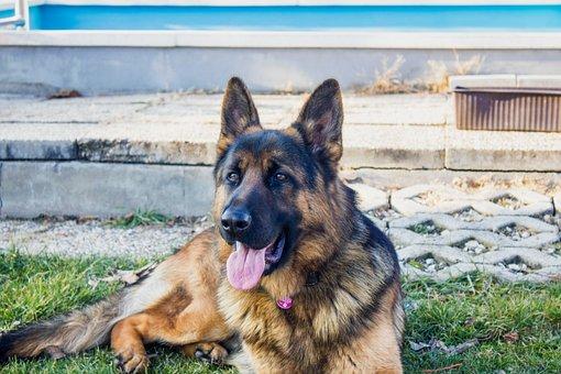 German Shepherd, Dog, Dogs, Animal, Is Watching, Né