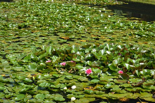 Water Lily, Pond, Water, Nature, Frog, Aquatic Plant