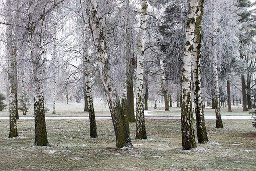Winter, Frost, Snow, Tree, Birch, Park, Frostbite